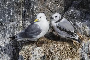 Adult and Juvenile Black-Legged Kittiwakes (Rissa Tridactyla) Nesting Near Stykkishholmur by Michael Nolan