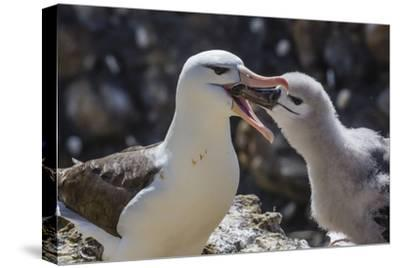 Adult Black-Browed Albatross Feeding Chick in New Island Nature Reserve, Falkland Islands