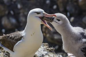 Adult Black-Browed Albatross Feeding Chick in New Island Nature Reserve, Falkland Islands by Michael Nolan