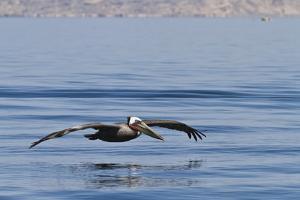 Adult Brown Pelican (Pelecanus Occidentalis), Gulf of California, Baja California, Mexico by Michael Nolan