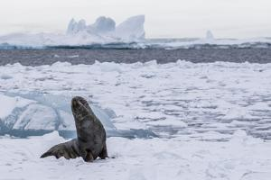Adult Bull Antarctic Fur Seal (Arctocephalus Gazella), Antarctica, Polar Regions by Michael Nolan