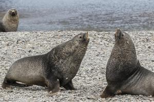 Adult Bull Antarctic Fur Seals (Arctocephalus Gazella) Fighting in Stromness Harbor, South Georgia by Michael Nolan