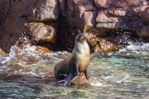 Adult California Sea Lion (Zalophus Californianus), at Los Islotes, Baja California Sur by Michael Nolan