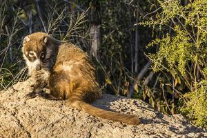 Adult Captive Coatimundi (Nasua Nasua) at the Arizona Sonora Desert Museum, Tucson, Arizona, Usa by Michael Nolan
