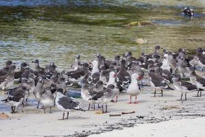 Adult Dolphin Gulls (Leucophaeus Scoresbii) Amongst Chick Creche, Falkland Islands by Michael Nolan
