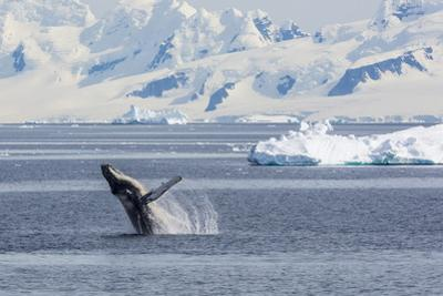 Adult Humpback Whale (Megaptera Novaeangliae) Breaching in the Gerlache Strait by Michael Nolan