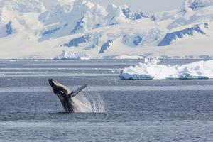 Adult Humpback Whale (Megaptera Novaeangliae) Breaching in the Gerlache Strait by Michael Nolan
