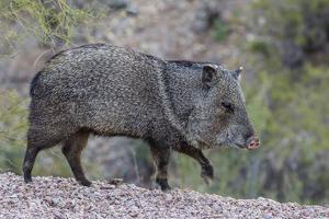 Adult javalina  in the Sonoran Desert suburbs of Tucson, Arizona, USA by Michael Nolan