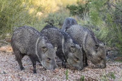 Adult javalinas  in the Sonoran Desert suburbs of Tucson, Arizona, USA by Michael Nolan