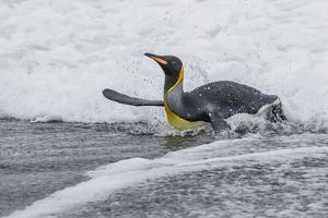 Adult King Penguin (Aptenodytes Patagonicus) Returning from Sea at St. Andrews Bay, Polar Regions by Michael Nolan