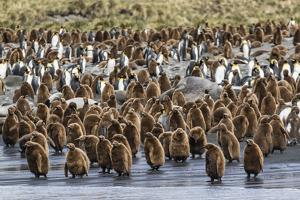 Adult King Penguins and Okum Boy Chicks (Aptenodytes Patagonicus) Heading to Sea in Gold Harbor by Michael Nolan