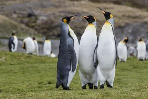 Adult King Penguins (Aptenodytes Patagonicus) at Breeding Colony at Fortuna Bay, South Georgia by Michael Nolan