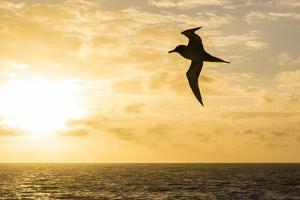 Adult Light-Mantled Sooty Albatross (Phoebetria Palpebrata) in Flight in the Drake Passage by Michael Nolan