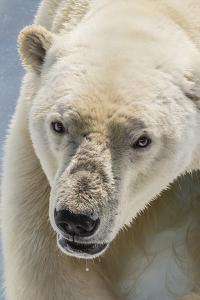 Adult Polar Bear (Ursus Maritimus) Close Up Head Detail by Michael Nolan