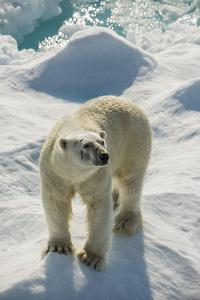 Adult Polar Bear (Ursus Maritimus) by Michael Nolan