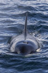Adult Type a Killer Whale (Orcinus Orca) Surfacing in the Gerlache Strait, Antarctica by Michael Nolan