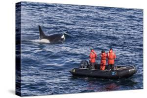 Adult Type a Killer Whale (Orcinus Orca) Surfacing Near Researchers in the Gerlache Strait by Michael Nolan