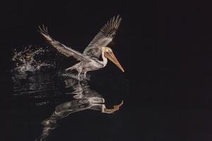 An Adult Brown Pelican (Pelecanus Occidentalis) at Night Near Isla Santa Catalina by Michael Nolan
