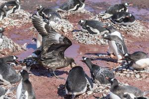 An Adult Brown Skua (Stercorarius Spp) Stealing a Penguin Egg at Brown Bluff, Antarctica by Michael Nolan