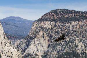 An adult California condor in flight on Angel's Landing Trail in Zion National Park, Utah, United S by Michael Nolan