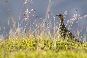 An Adult Female Willow Ptarmigan (Lagopus Lagopus) in Summer Plumage on the Snaefellsnes Peninsula by Michael Nolan