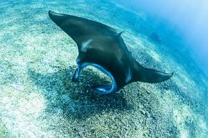 An adult manta ray at Makaser, Komodo Nat'l Park, Flores Sea, Indonesia, Southeast Asia by Michael Nolan