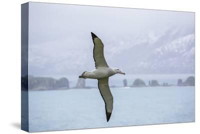 An Adult Wandering Albatross (Diomedea Exulans) in Flight Near Prion Island, Polar Regions