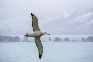 An Adult Wandering Albatross (Diomedea Exulans) in Flight Near Prion Island, Polar Regions by Michael Nolan