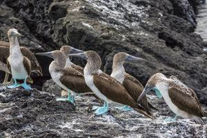 Blue-Footed Boobies (Sula Nebouxii) at Puerto Egas by Michael Nolan