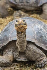 Captive Galapagos Giant Tortoise (Chelonoidis Nigra) at the Charles Darwin Research Station by Michael Nolan