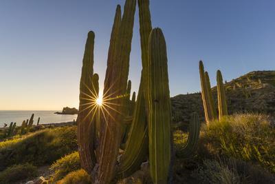 Cardon Cactus (Pachycereus Pringlei) at Sunset on Isla Santa Catalina, Baja California Sur, Mexico