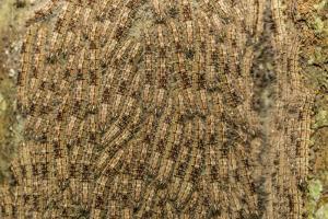 Caterpillars on tree bark, Upper Amazon River Basin, Amazon National Park, Loreto, Peru by Michael Nolan