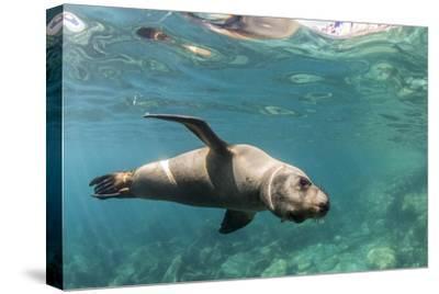 Curious California Sea Lion (Zalophus Californianus) Underwater at Los Islotes, Baja California Sur