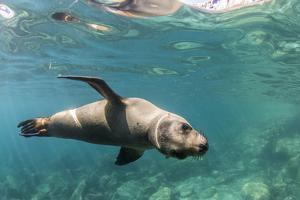 Curious California Sea Lion (Zalophus Californianus) Underwater at Los Islotes, Baja California Sur by Michael Nolan
