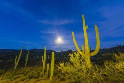 Full moon on saguaro cactus (Carnegiea gigantea), Sweetwater Preserve, Tucson, Arizona, United Stat