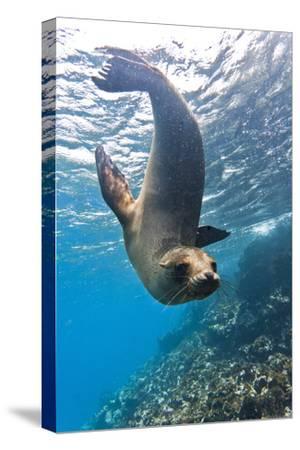 Galapagos Sea Lion (Zalophus Wollebaeki) Underwater, Champion Island, Galapagos Islands, Ecuador