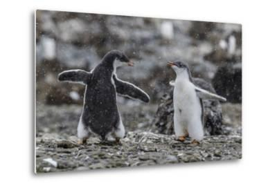 Gentoo Penguin Chicks (Pygoscelis Papua) in Ecstatic Display at Brown Bluff, Polar Regions