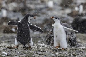 Gentoo Penguin Chicks (Pygoscelis Papua) in Ecstatic Display at Brown Bluff, Polar Regions by Michael Nolan