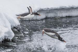 Gentoo Penguins (Pygoscelis Papua) Leaping into the Sea at Booth Island, Antarctica, Polar Regions by Michael Nolan
