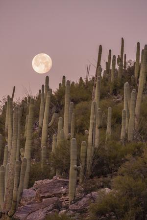 Giant Saguaro Cactus (Carnegiea Gigantea), Tucson, Arizona