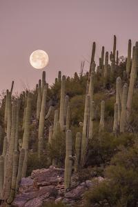Giant Saguaro Cactus (Carnegiea Gigantea), Tucson, Arizona by Michael Nolan