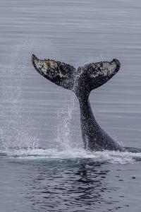 Humpback Whale (Megaptera Novaeangliae) Surface Display, Tail Throw, Useful Island, Antarctica by Michael Nolan