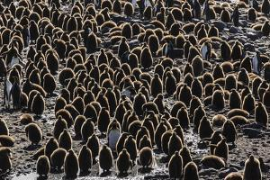 King Penguin (Aptenodytes Patagonicus) Adults with Chicks at St. Andrews Bay, South Georgia by Michael Nolan