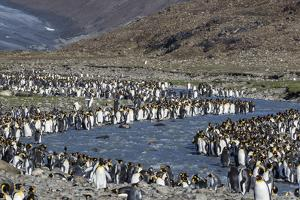 King Penguin (Aptenodytes Patagonicus) Breeding Colony at St. Andrews Bay, South Georgia by Michael Nolan