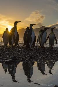 King Penguins (Aptenodytes Patagonicus) at Sunrise, in St. Andrews Bay, South Georgia by Michael Nolan