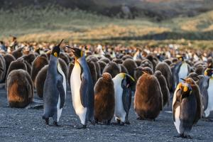 King Penguins (Aptenodytes Patagonicus) in Early Morning Light at Gold Harbor, South Georgia by Michael Nolan