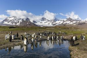 King Penguins (Aptenodytes Patagonicus) in Early Morning Light at St. Andrews Bay, South Georgia by Michael Nolan