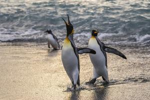 King Penguins (Aptenodytes Patagonicus) Returning from the Sea at Gold Harbour, Polar Regions by Michael Nolan
