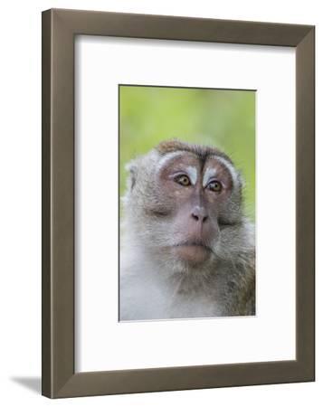 Long-Tailed Macaque (Macaca Fascicularis), Bako National Park, Sarawak, Borneo, Malaysia