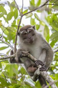 Long-Tailed Macaque (Macaca Fascicularis), Bako National Park, Sarawak, Borneo, Malaysia by Michael Nolan